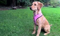 Mesh Pet Harness: Small/true Blue