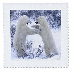 Polar Bears Fighting.(Ursus Maritimus).Churchill, Canada - Quilt Square, 12 by 12-Inch (qs_45684_4)
