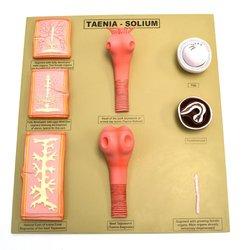Eisco 8 Segment Tapeworm Model Showcases