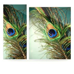 KESS InHouse Peacock Feather by Sylvia Cook Photographic Print Plaque