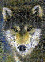 Grey Wolf, 1000 Piece Jigsaw Puzzle Made By Buffalo