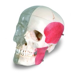 "3B Scientific 8 Part Bonelike Human Bony Skull Model - 6.3"" x 5.5"" x 8.1"""