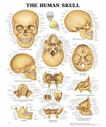 """Set of 25 The Human Skull Charts 11x14"""" Inches"""
